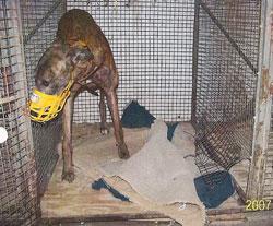 greyhound in cagfe