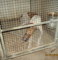 caged greyhound