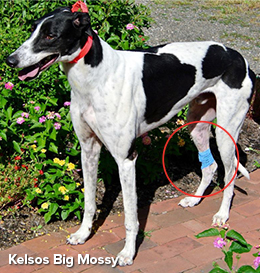Kelsos Big Mossy fractured her leg
