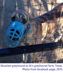 muzzled greyhound