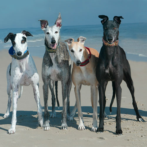 greyhounds by the ocean