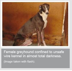 caged greyhound