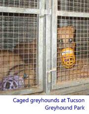 caged greyhounds at TGP