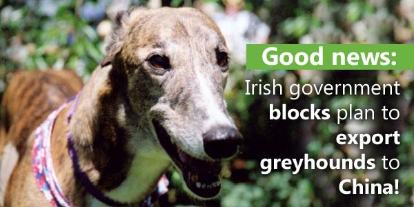 Good news: Irish government blocks plan to export greyhounds to China