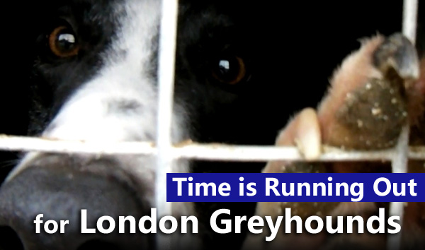 Time is Running Out for London Greyhounds