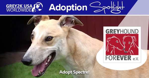 Adoption Spotlight: Greyhound Forever