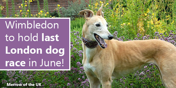 Wimbledon to hold last London dog race in June!