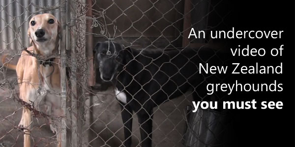 An undercover video of New Zealand greyhounds you must see
