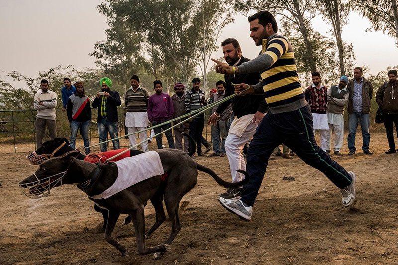 Dog racing in Punjab