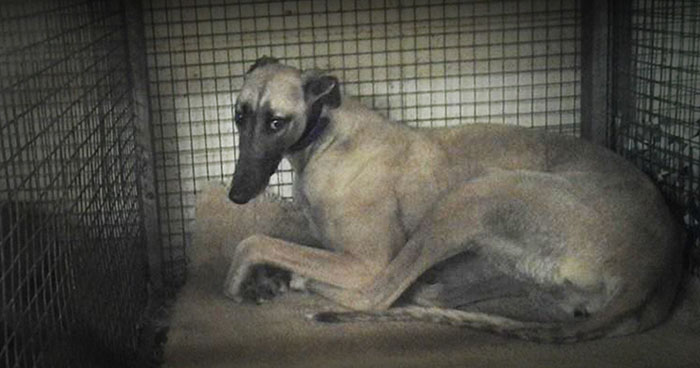A caged greyhound at the-Tri-State dog track in West Virginia