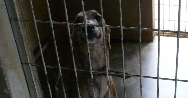 A greyhound in the kennel complex