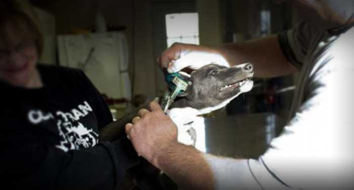 A greyhound puppy receives a painful ear tattoo
