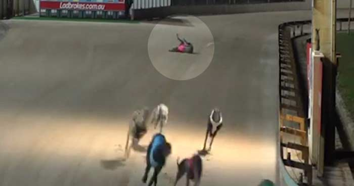 A dog falls while racing in Australia
