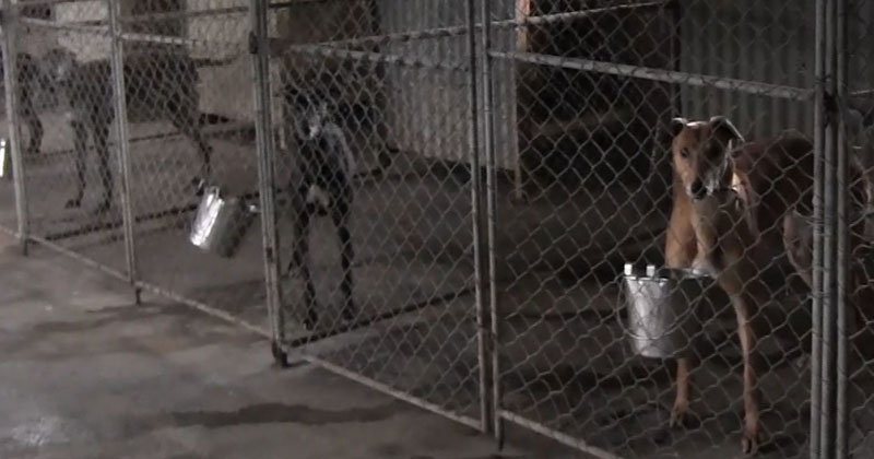 Caged greyhounds in New Zealand