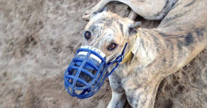 Colton was born on a greyhound breeding farm in the U.S.