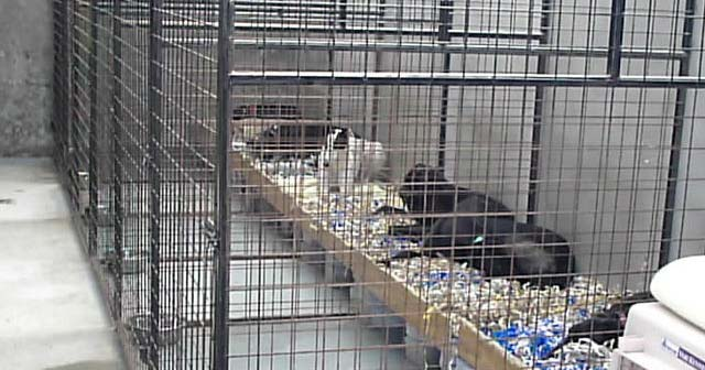 Caged dogs at a greyhound kennel in Ireland