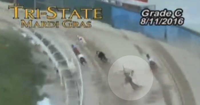 Racing greyhounds DKC Romancandle fell during this Tri State race and was later destroyed
