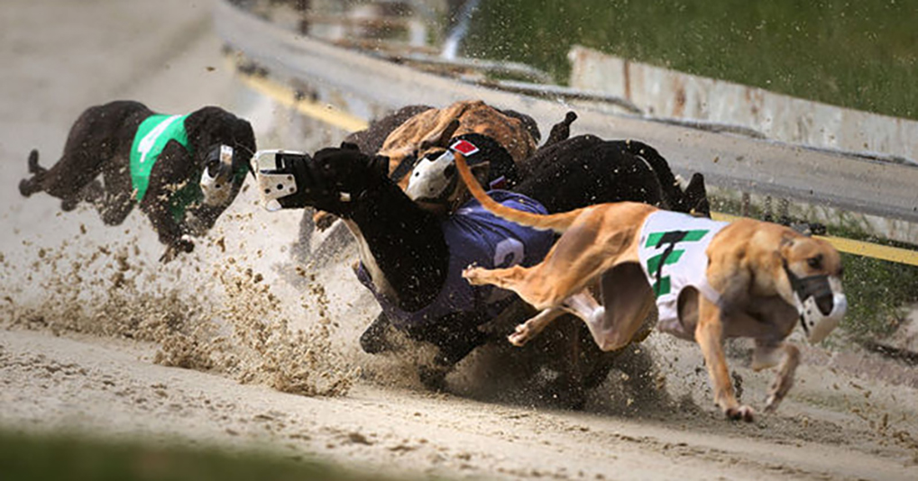 Greyhounds collide during a race in Alabama