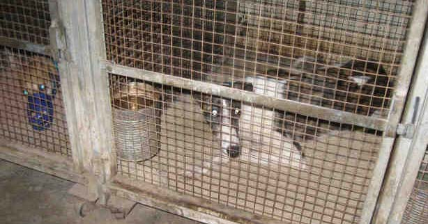 Racing greyhounds are caged for 20+ hours per day in the United States