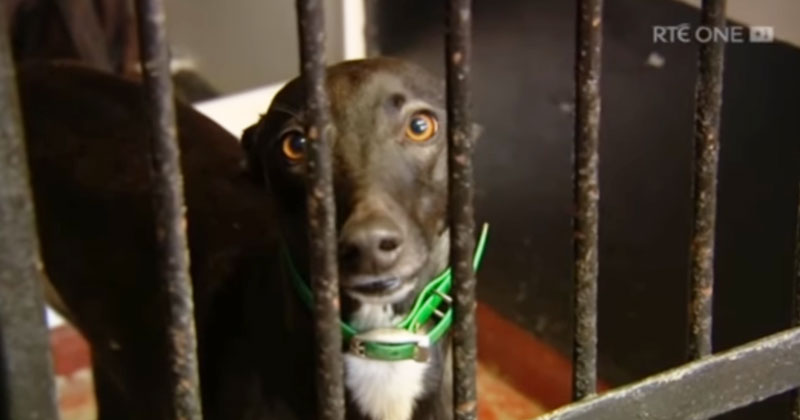 A caged greyhound from the RTÉ exposé