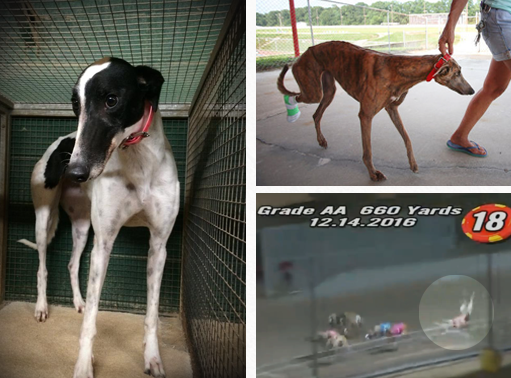About Greyhound Racing