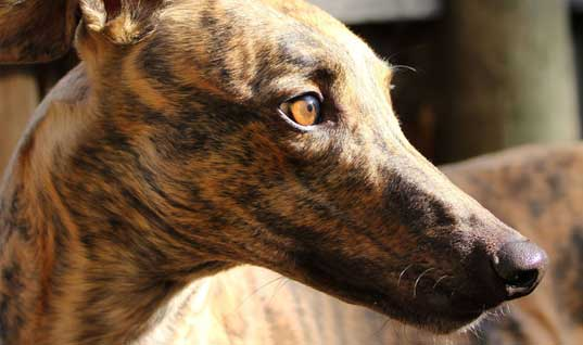 End the cruelty of greyhound racing in Australia