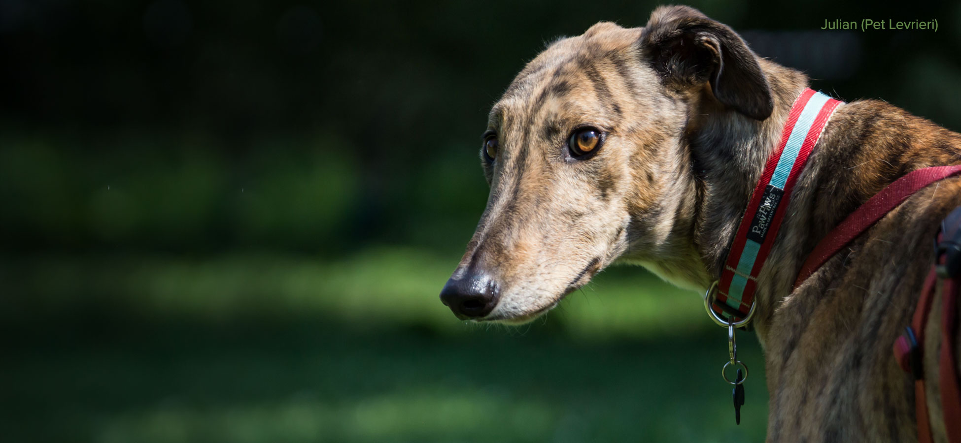 Julian the greyhound by Pet levrieri