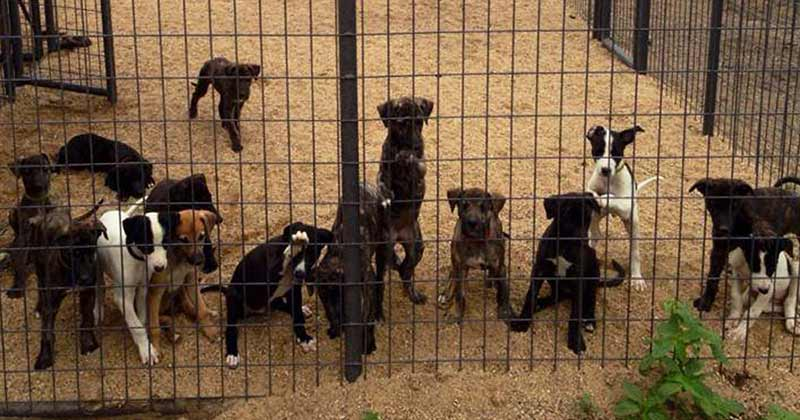 Puppies are bred for racing at a breeding farm in Kansas
