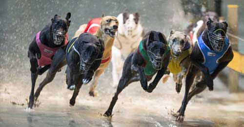 Extreme Weather - greyhounds race in hazardous conditions