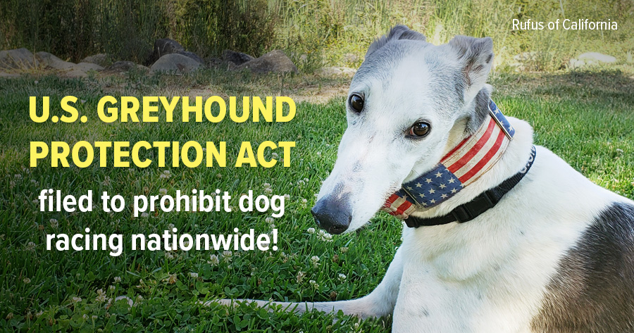 Greyhound Protection Act filed to prohibit dog racing nationwide!