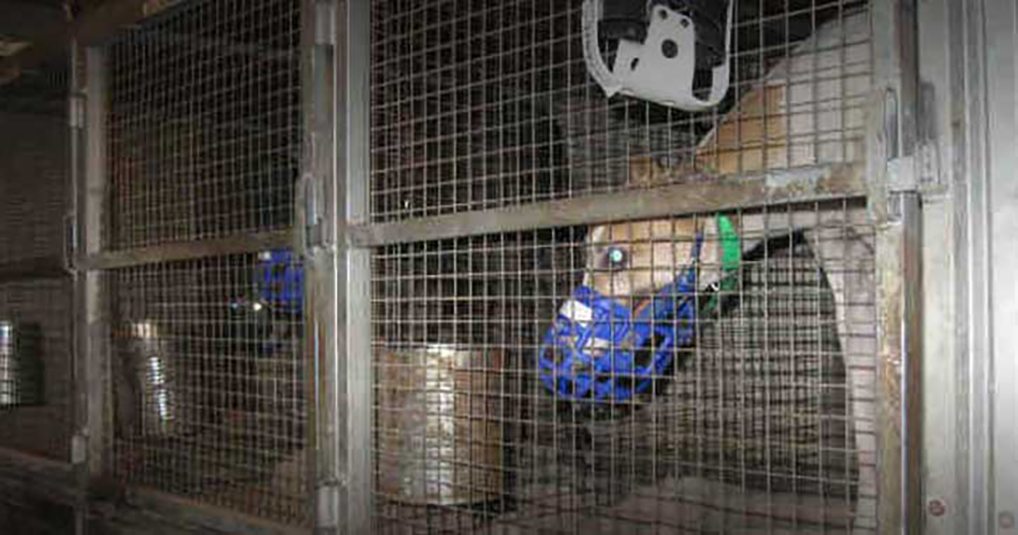 Caged greyhounds in the United States