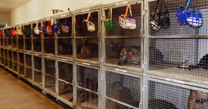 Caged and muzzled greyhounds in a US kennel