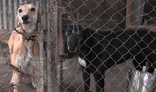End dog racing in New Zealand