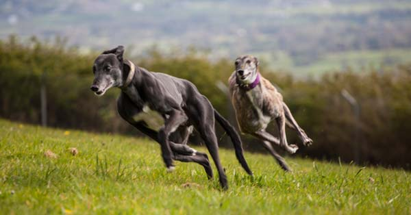 Order the Greyhound Freedom Calendar