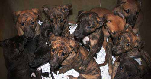 Breeding & Tattooing - puppies bred for the greyhound racing industry