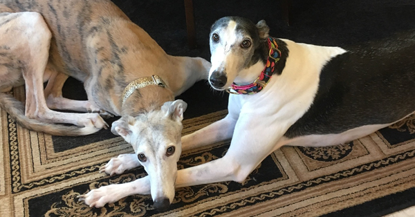 Rescued greyhound stories