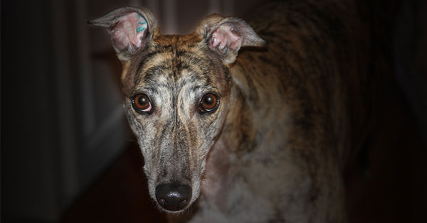 Stop the killing of greyhounds in Texas