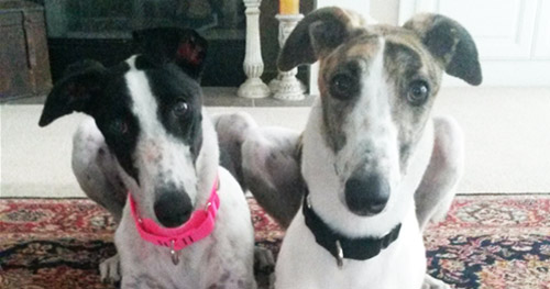 Nellie and Paxton, greyhounds