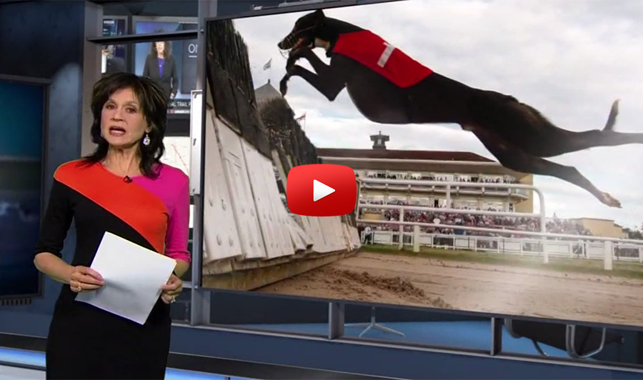 Cocaine in greyhounds update