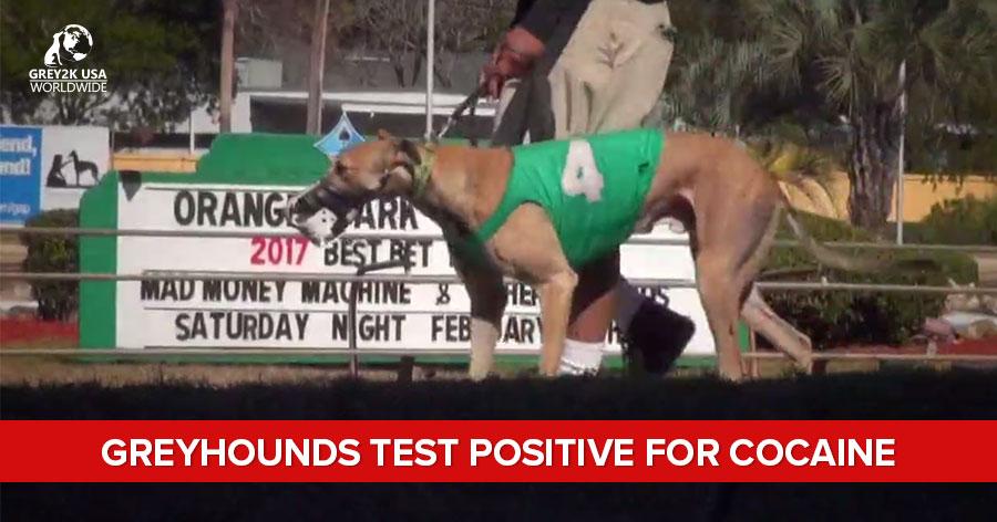 Greyhounds test positive