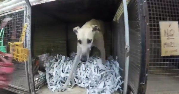 Florida greyhound in a kennel with shredded paper