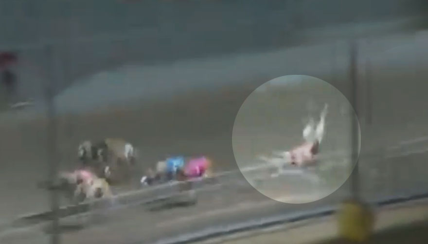 A greyhound falls on an American track